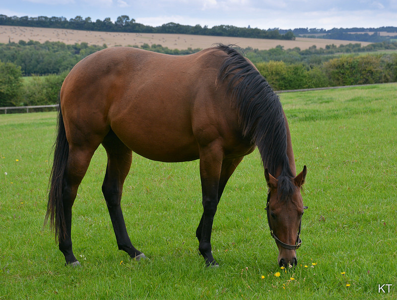 photograph of a horse eating grass in a field